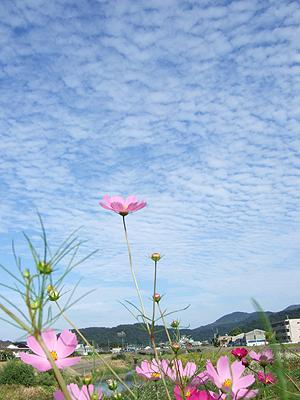 益田川土手から見たうろこ雲。手前にコスモス