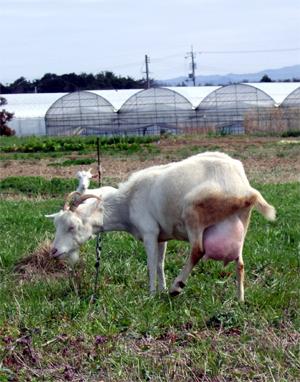 お腹の大きいヤギさん