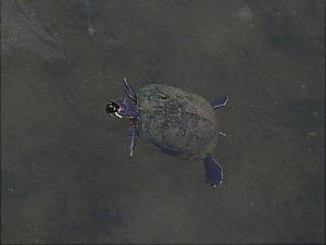 ミドリガメ