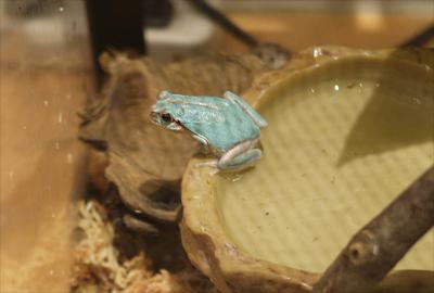 青いアマガエル