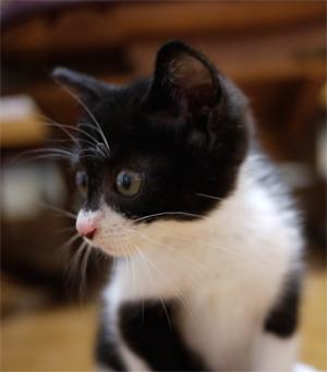 白黒の子猫