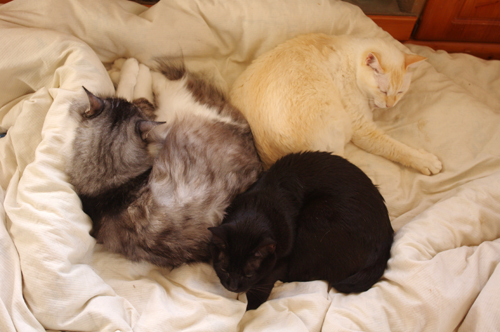 三猫昼寝の図